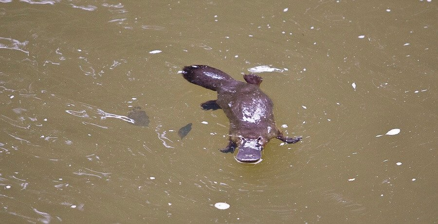 Atherton Tablelands Tour Platypus I