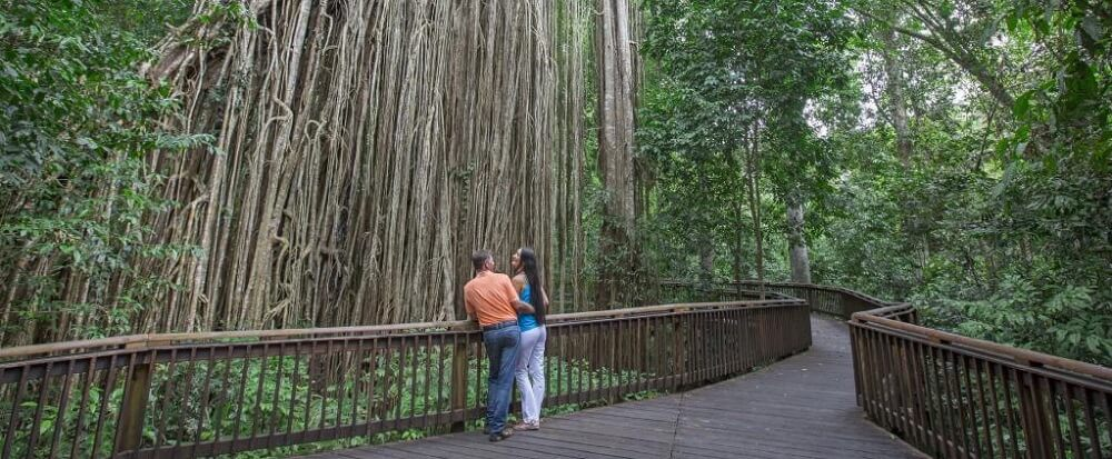 The Cathedral Fig Tree in the Atherton Tablelands
