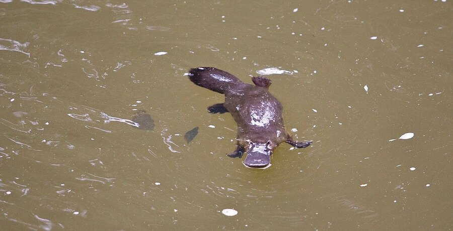 atherton tablelands platypus